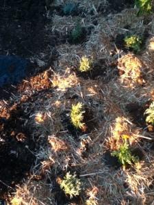 lavender, rosemary, marigold